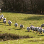 Sheep on Luckley Hill